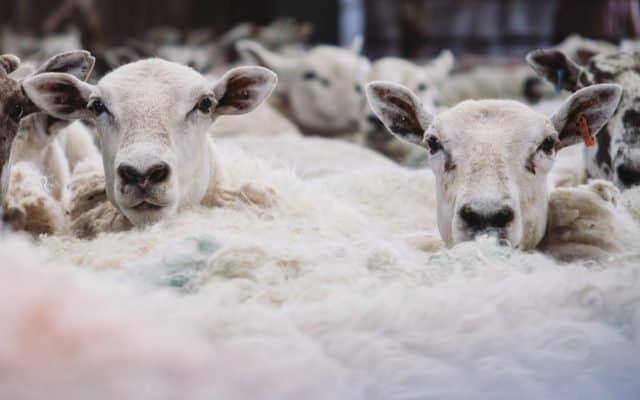 sheep sheer fees