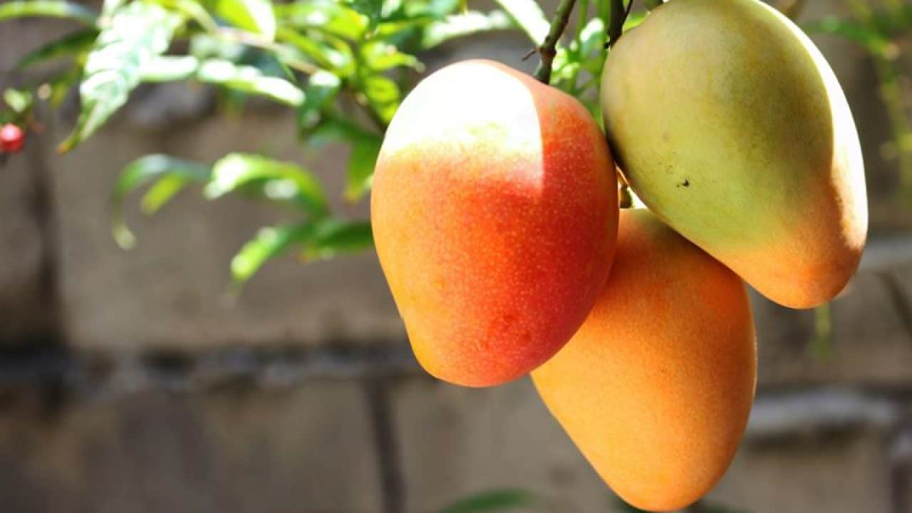 mangos-on-a-tree-1280x720